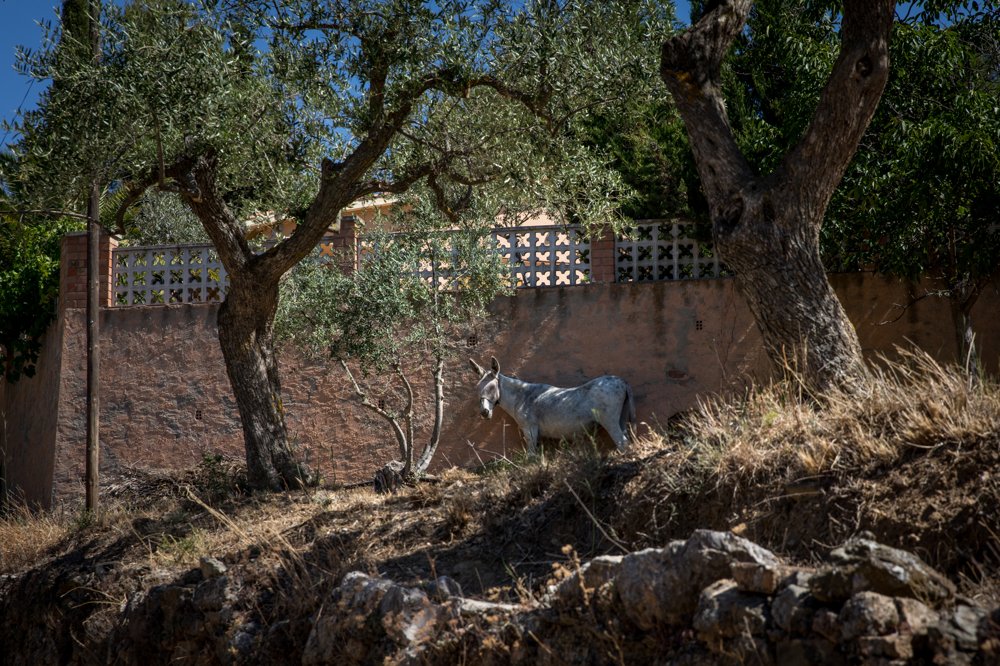 Donkey on vacation; later this fall, help for the harvest: machines can't access Priorat's steep vineyards.