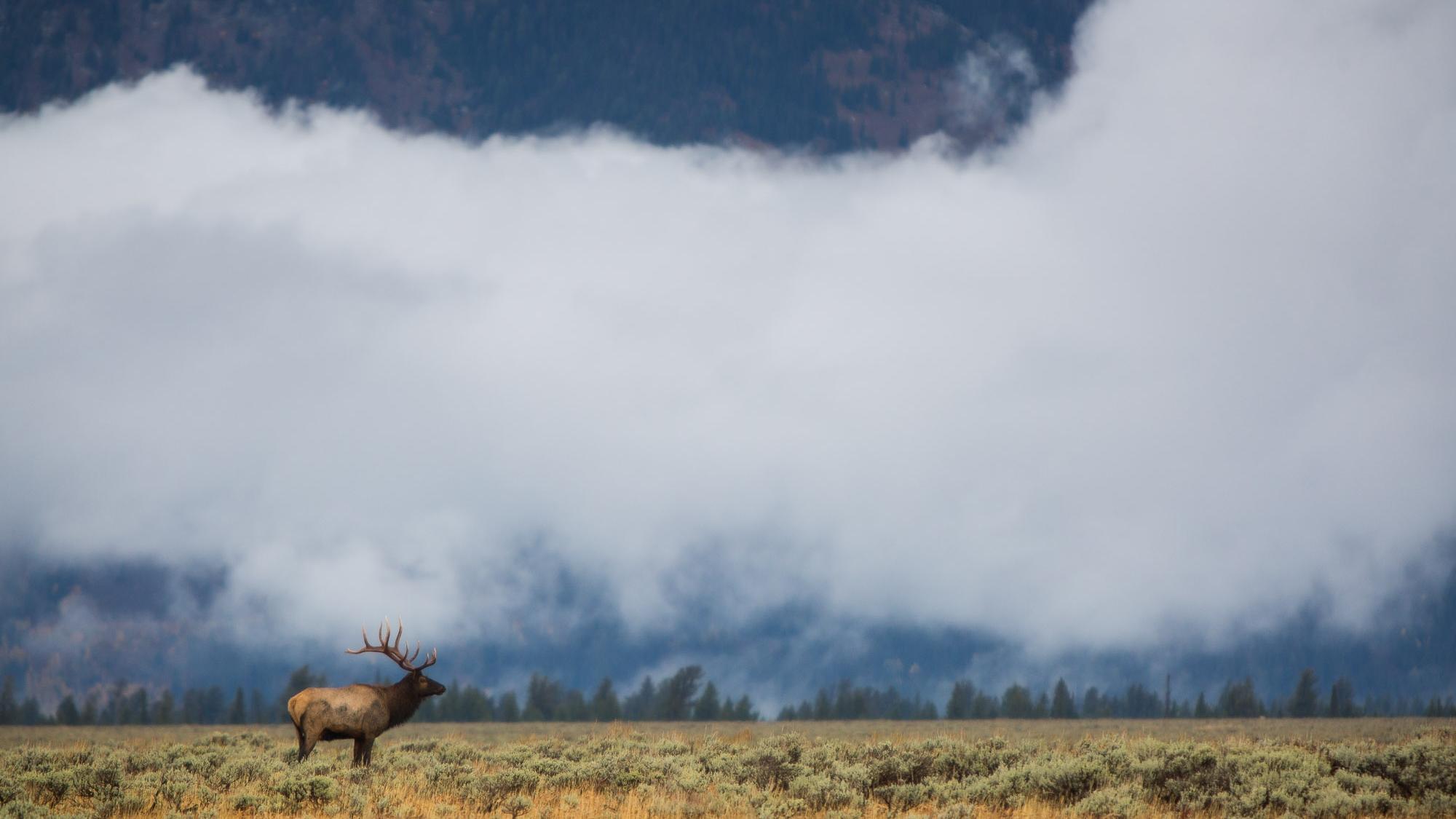 A bull elk in Grand Teton National Park