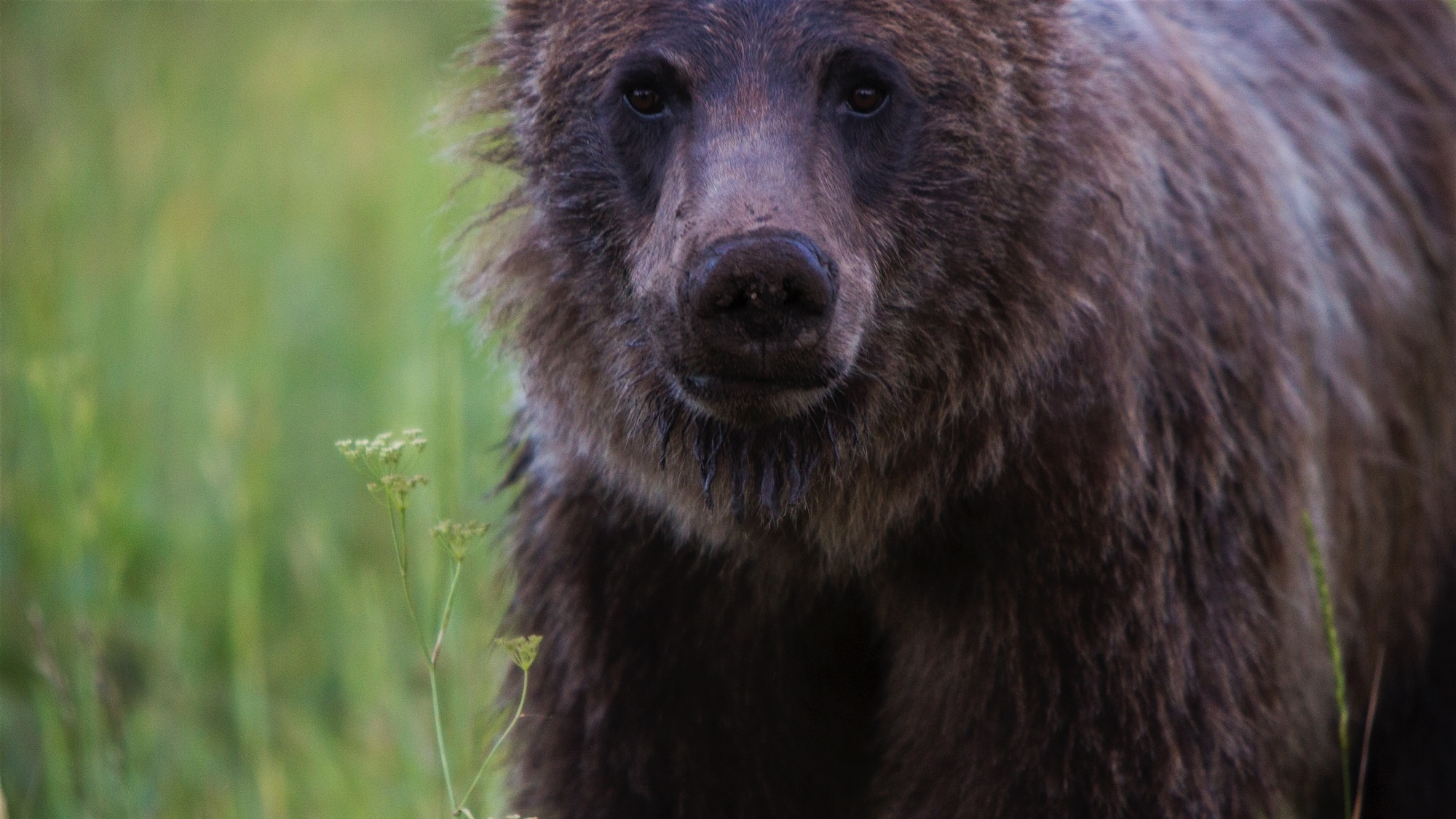A young grizzly bear forages in the wildflowers near Pacific Creek