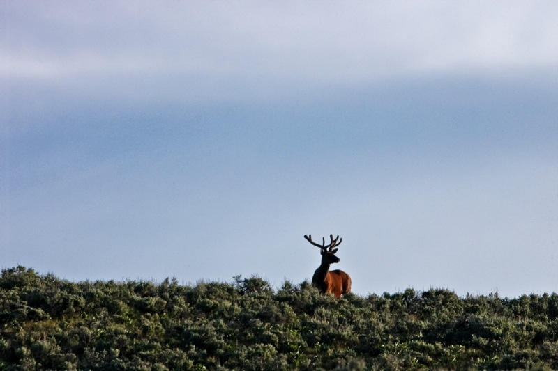 lone bull elk atop a sagebrush lined ridge in grand teton national park, wyoming