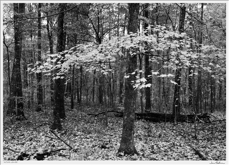 """""""Autumn Leaves,"""" 2006  black and white photograph, print #1  24 1/8"""" x 29 1/8"""""""