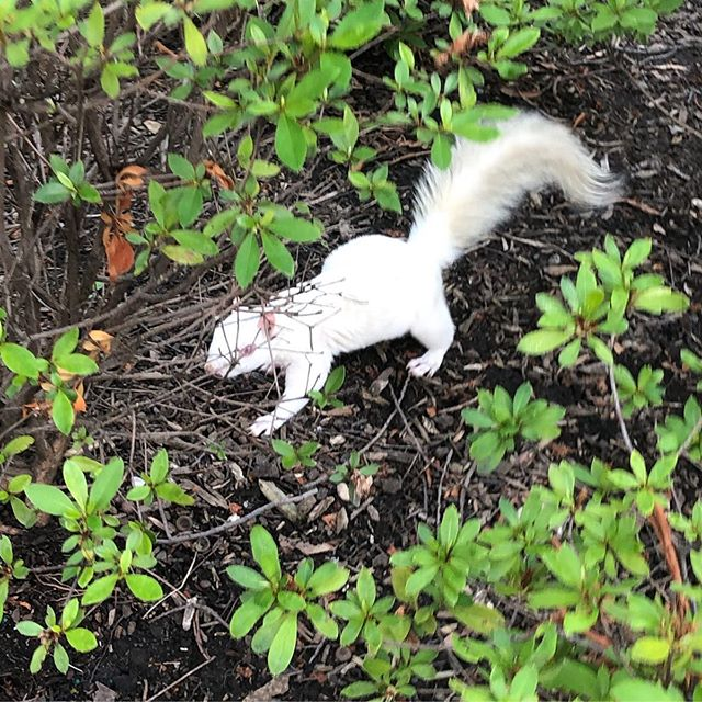 Our Honda Accord is The White Squirrel. Introducing: the OTHER white squirrel! For reals. #nofilter #latergram #albinosquirrel