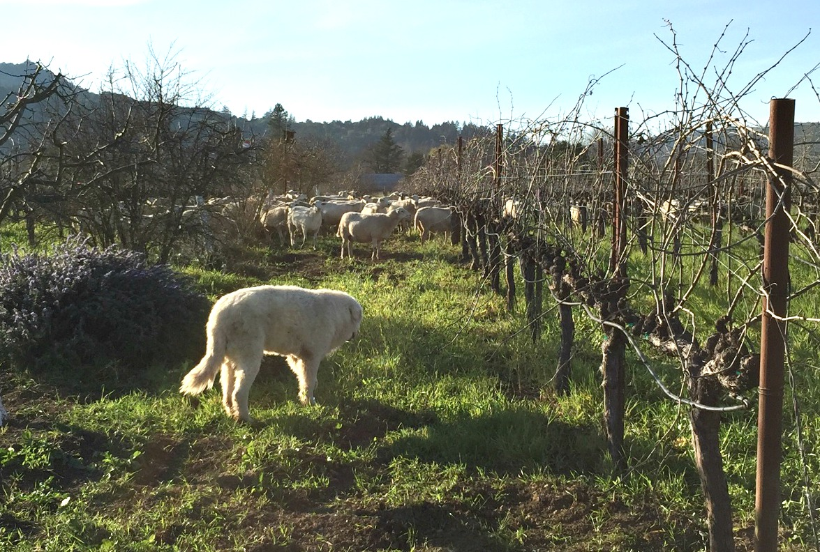 Sheep Dog, Sustainable Farms