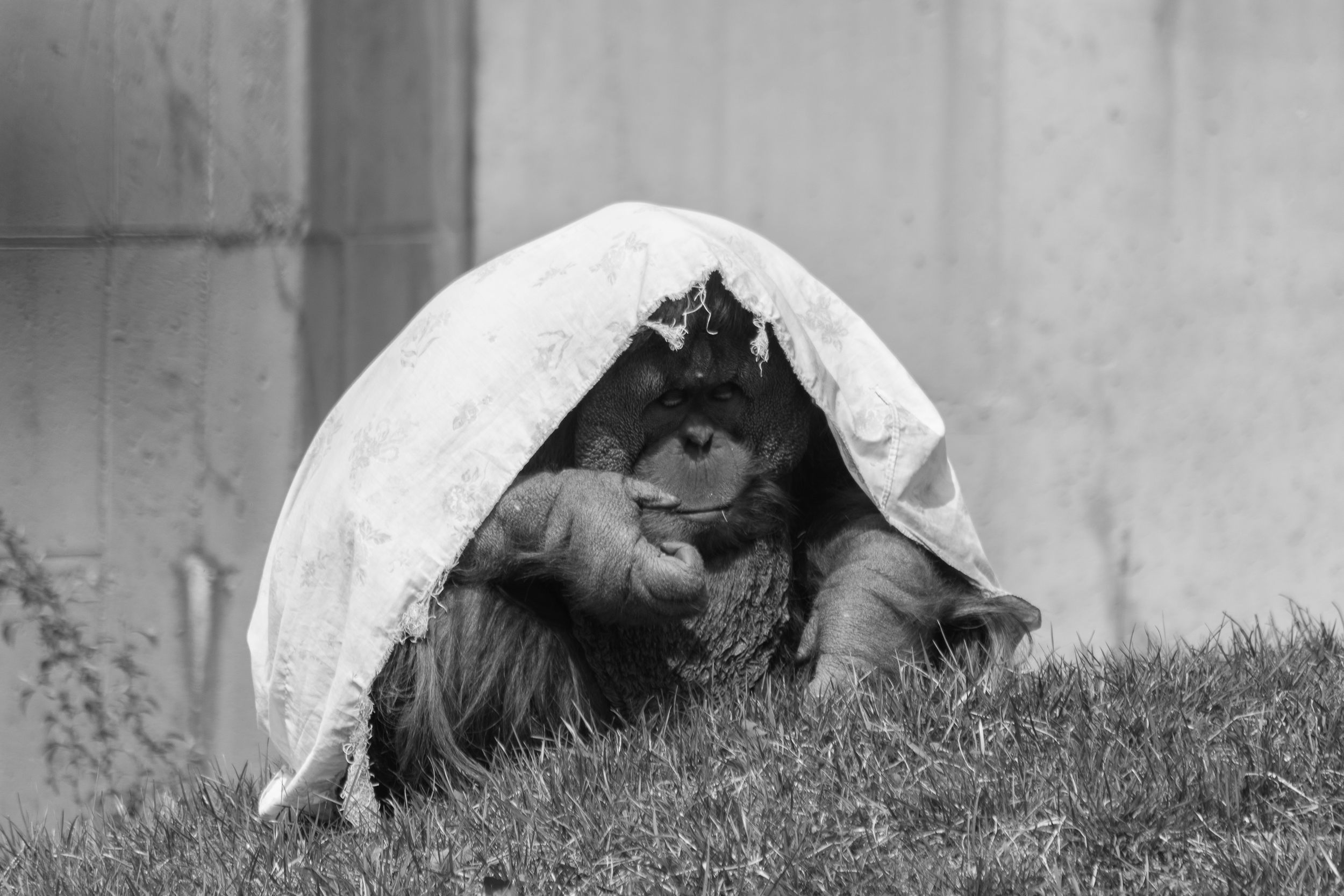 OrangutanB&W.jpg