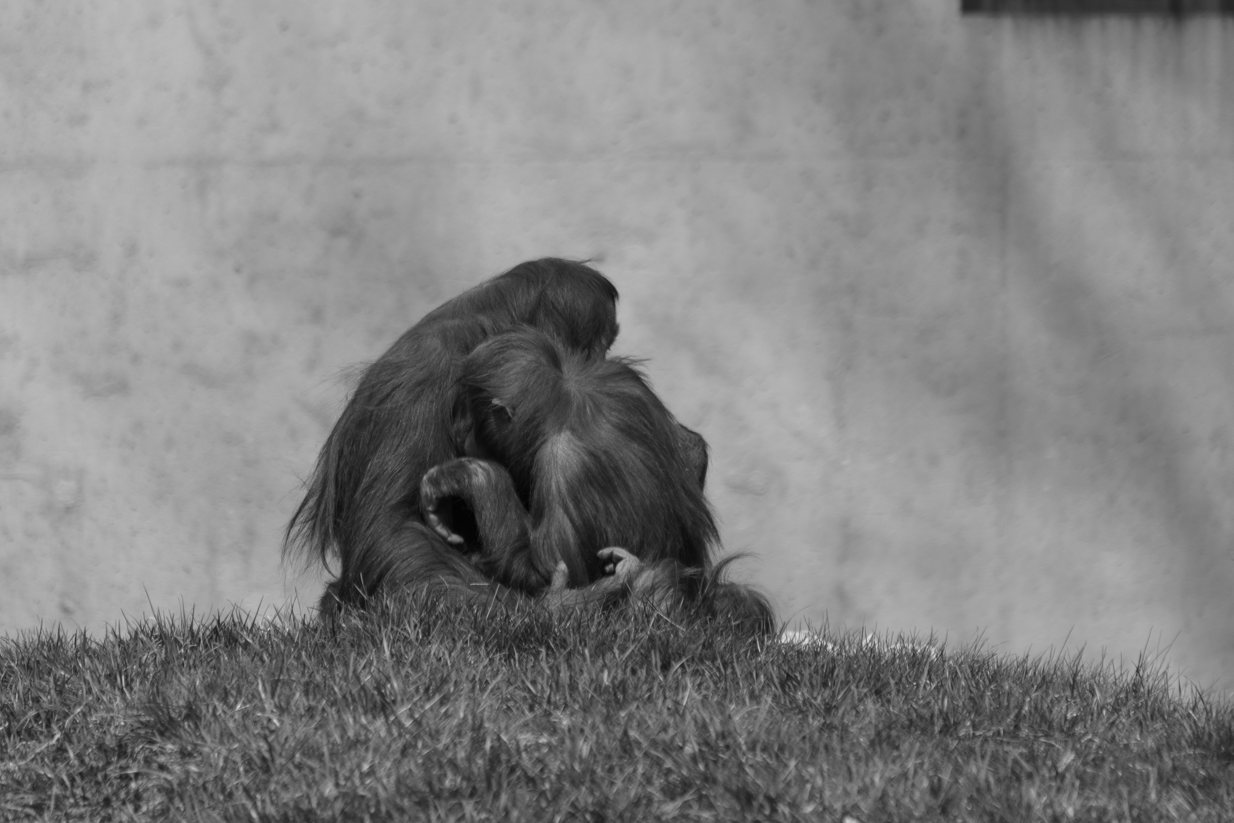 Orangutan LoveB&W.jpg