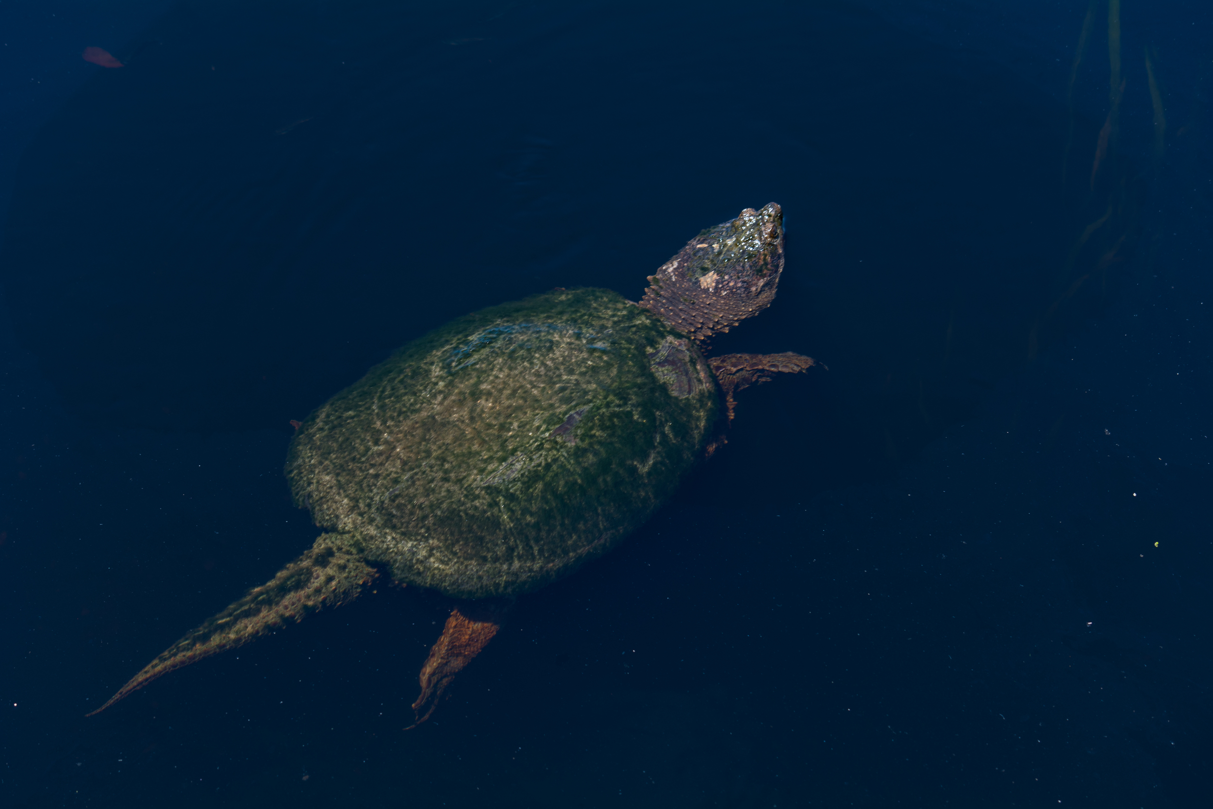 Old Snapper Turtle