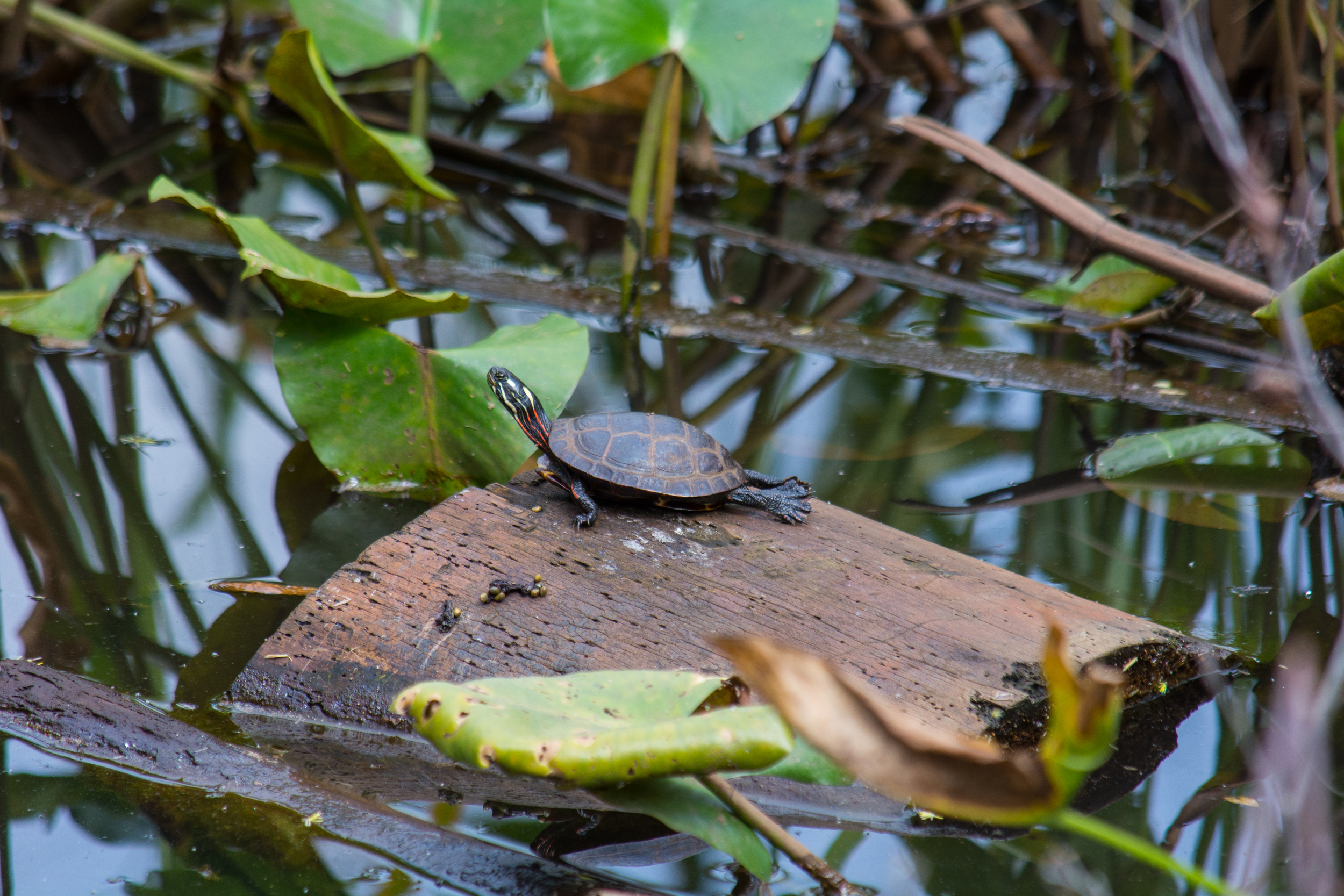 Cute Turtle on log