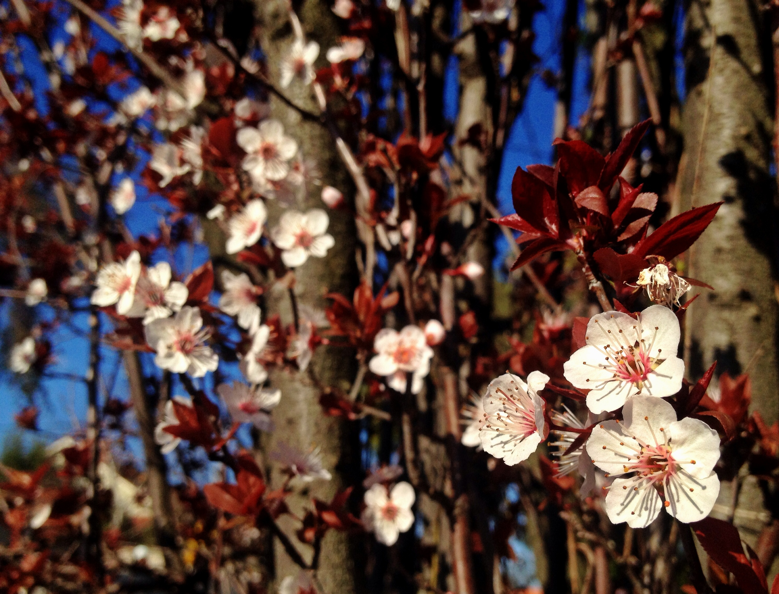 A local cherry plum tree blooms giving way to leaves