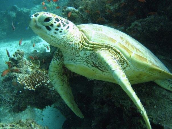 Green turtle, Racha Yai, Thailand