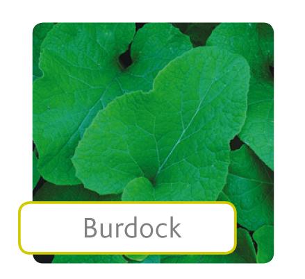burdock.jpg