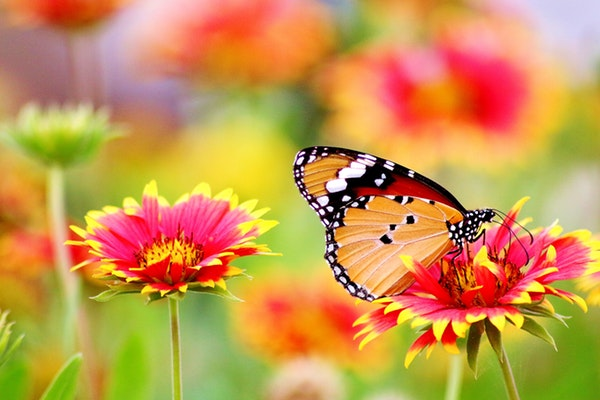 butterfly blooming-blossom-462118.jpg