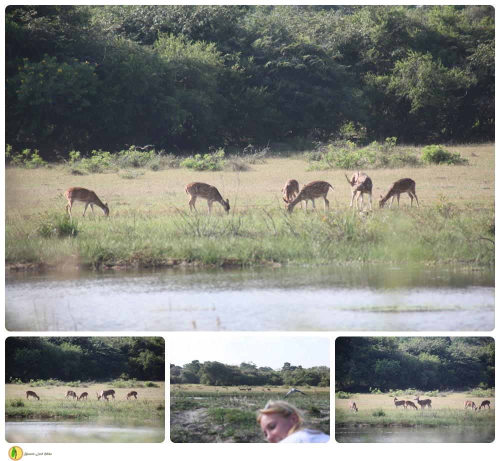 Wild deer Sri Lanka Nature tour