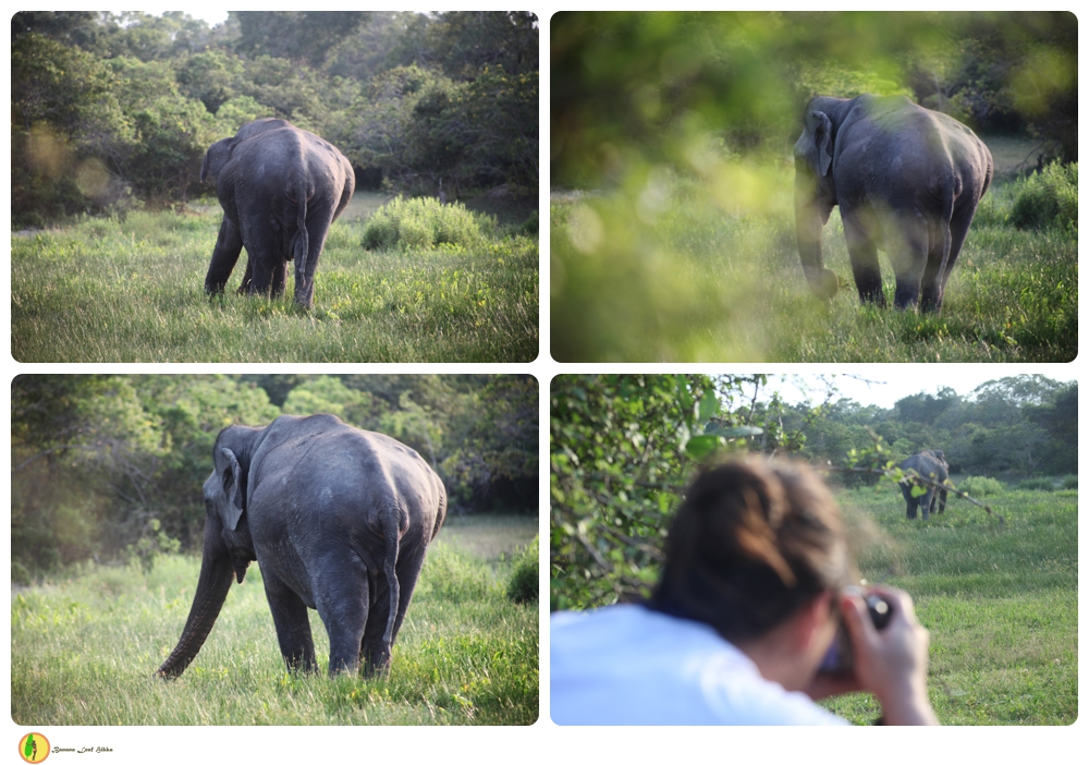 Sri Lankan elephant Kumana