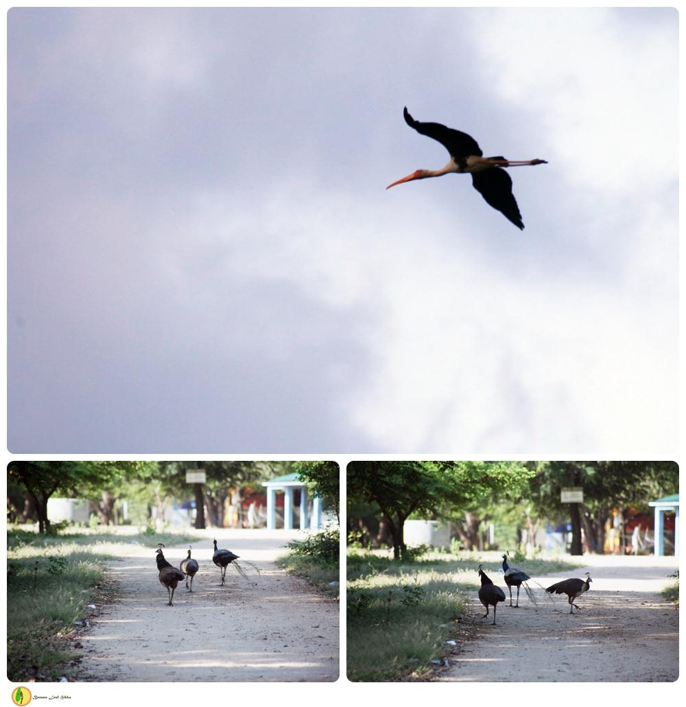 Sri Lankan Peacocks East Coast