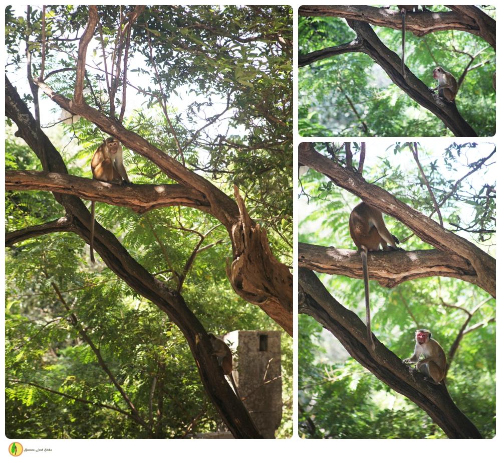 Monkeys Sri Lanka temple