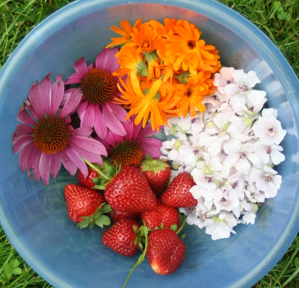 Today's garden harvest: Ecchinacea flowers, calendula petals, marshmallow blossoms and for a treat, long-season strawberries.