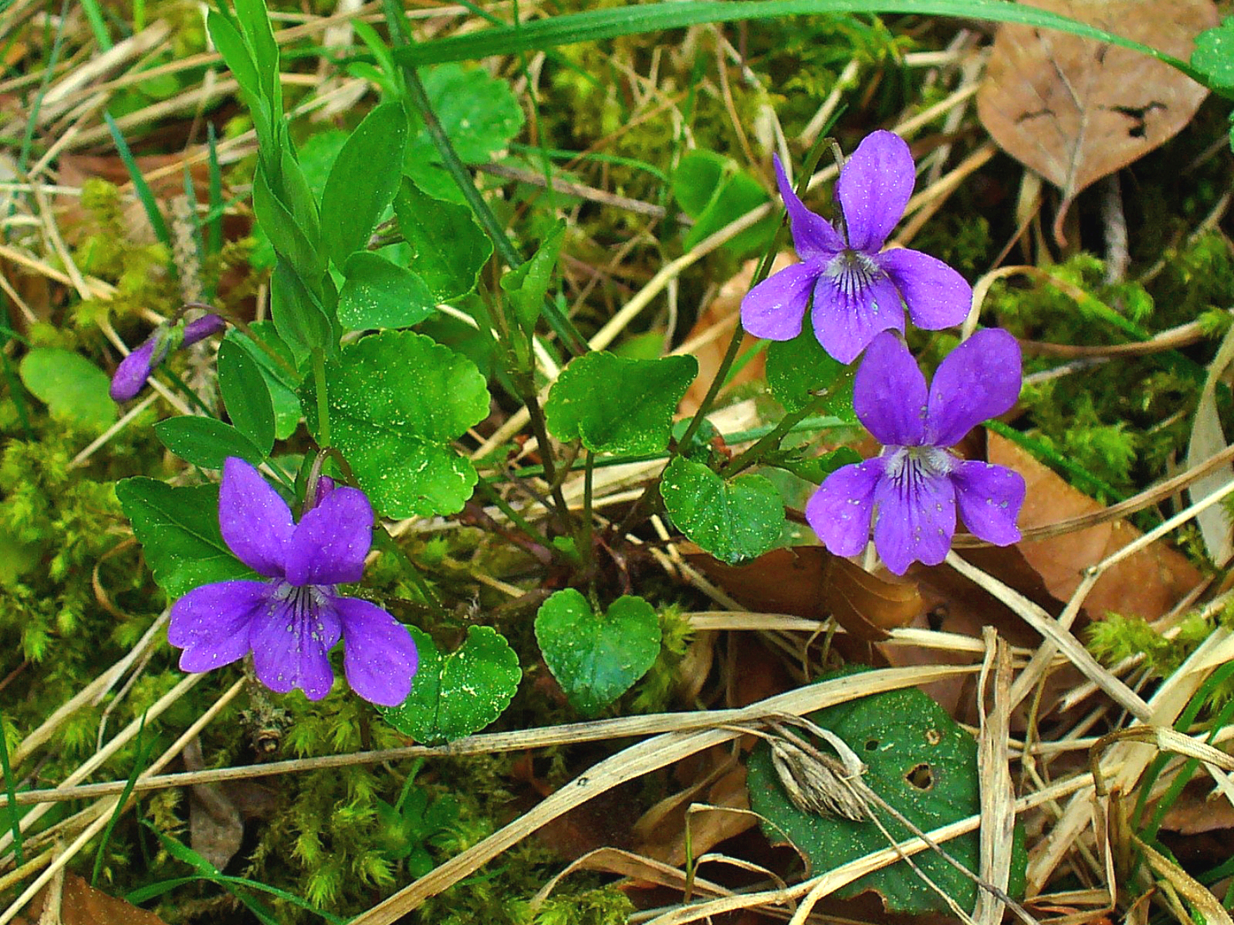 Violets with five irregular petals and heart-shaped leaves - image by H. Zell of Wikipedia