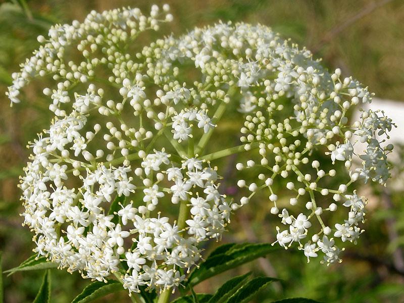 Elderflower - Creative commons image by J. M. Garg