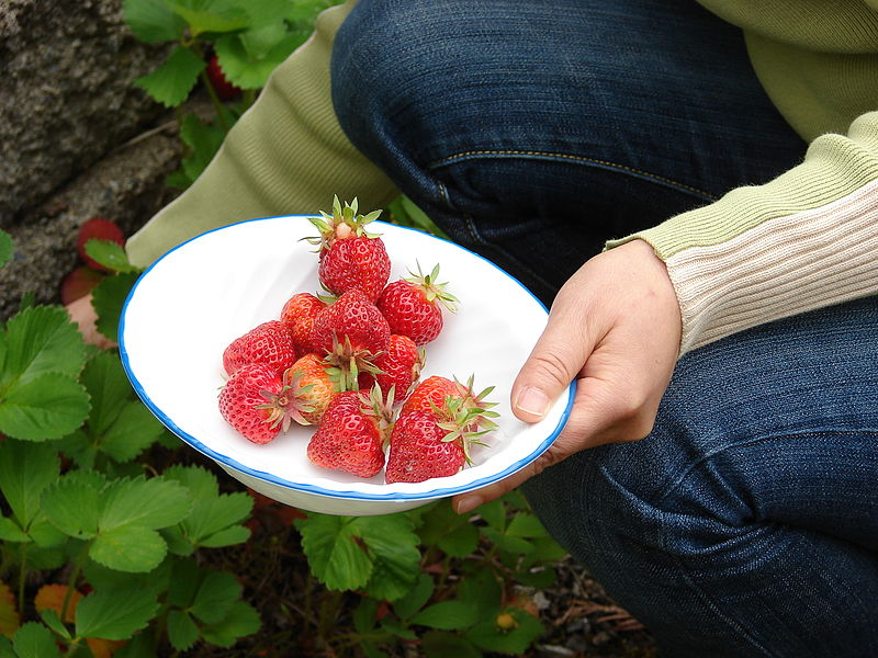 Picking strawberries - Creative Commons image by Loadmaster (David R. Tribble)