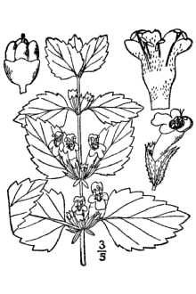 This illustration of lemon balm can help you to identify the plant - public domain image by Gideon Pisanty