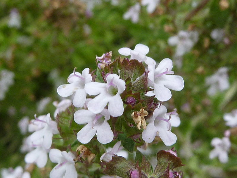 Common Thyme flowers - Creative Commons image by Magnus Manske