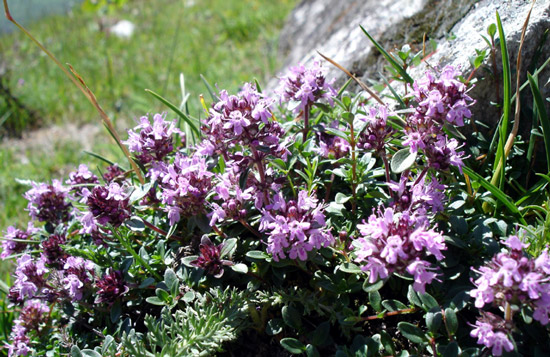 Wild Thyme flowers - image by Summi of German Wikipedia with GNU Free Documentation License