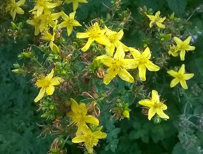 St. John's Wart in my herb garden