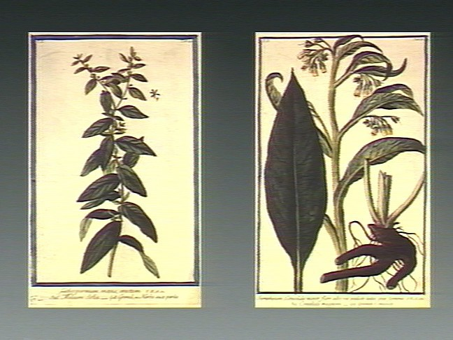 A coloured etching by M. Bouchard, 1774 - Comfrey has been used by herbalists for centuries