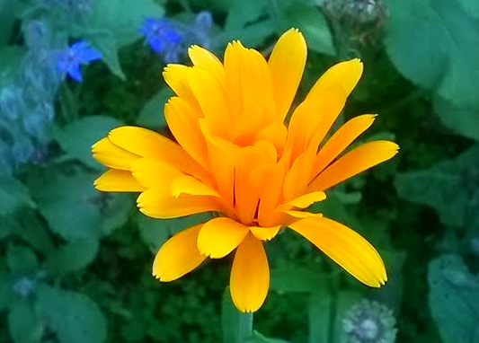 An opening calendula blossom - Creative Commons image by Arie Farnam