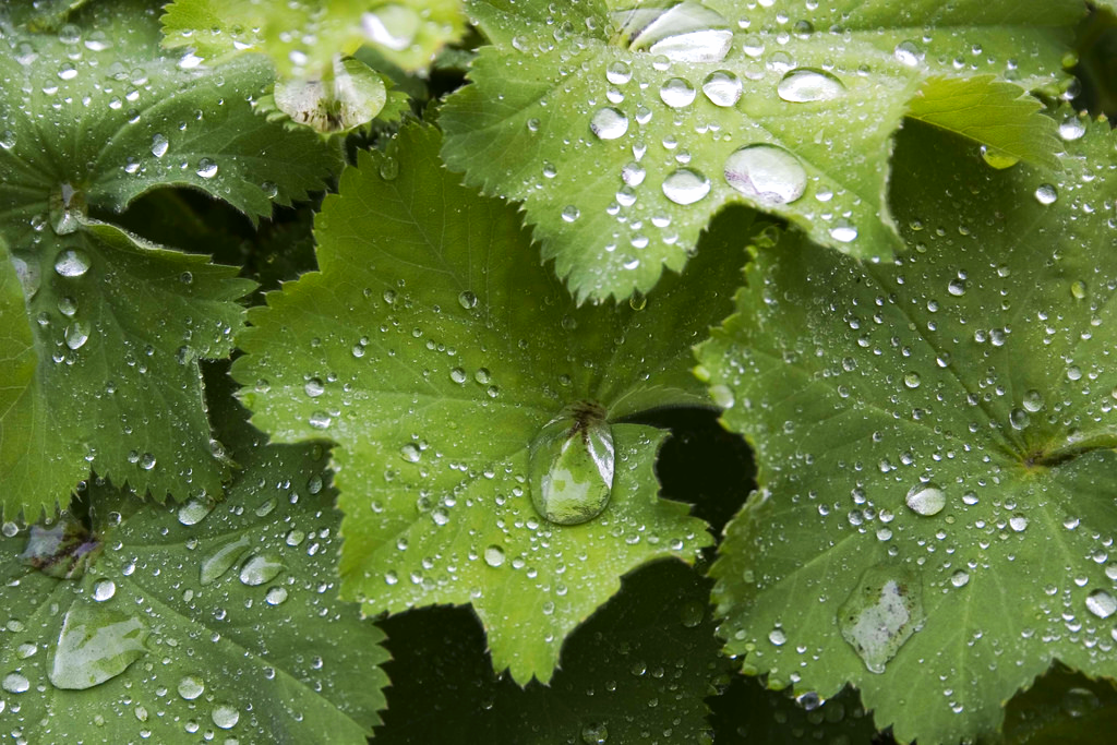 Lady's mantle leaves with their distinctive shape - Creative commons image by Chris Cardew