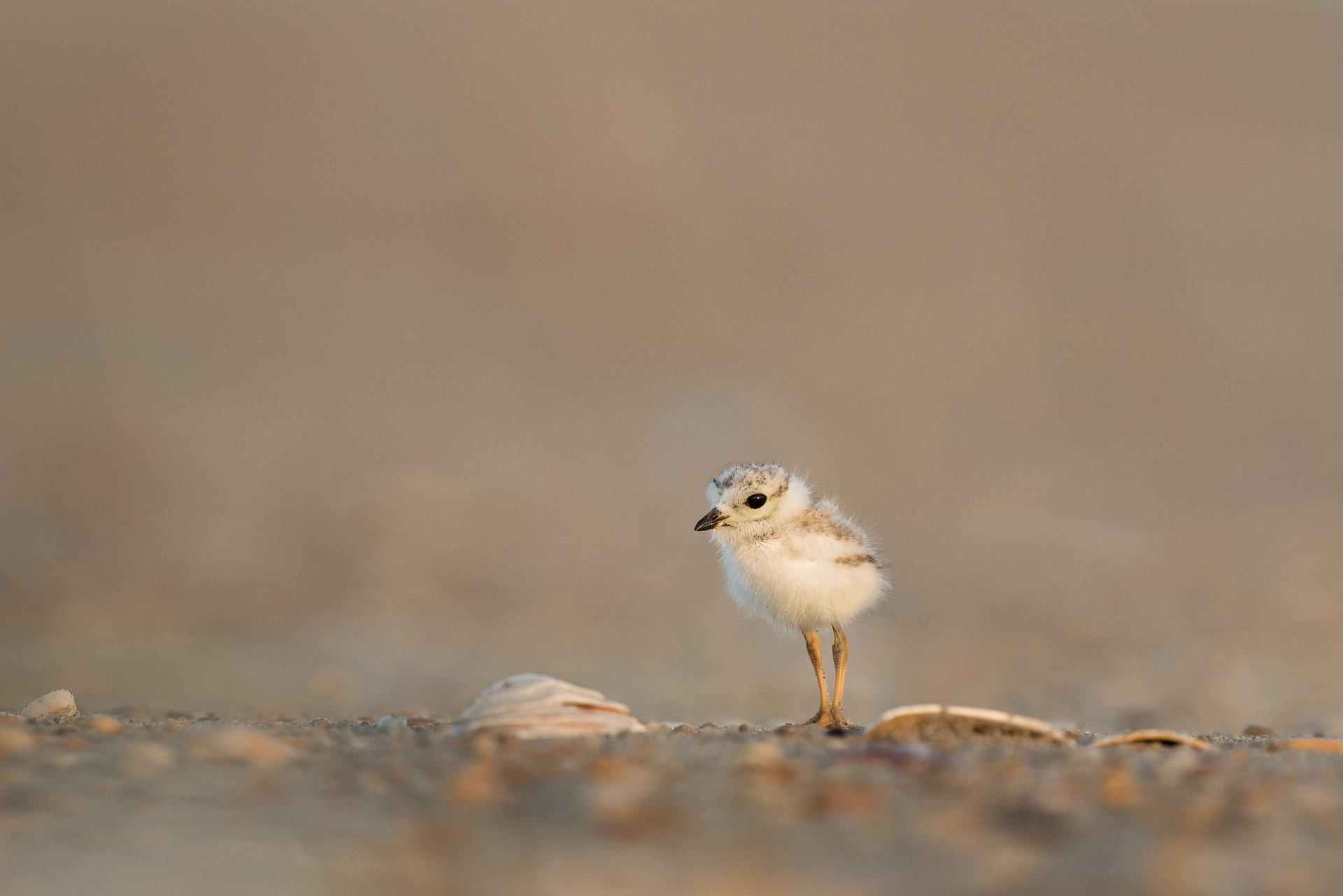 Chick bird spring vulnerability trust - CC image via pixabay.jpg