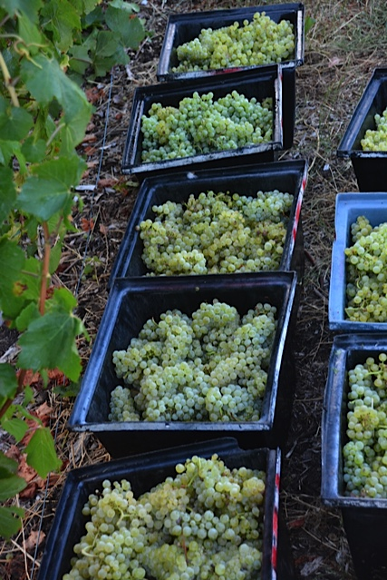 chardonnay harvest 15.jpg