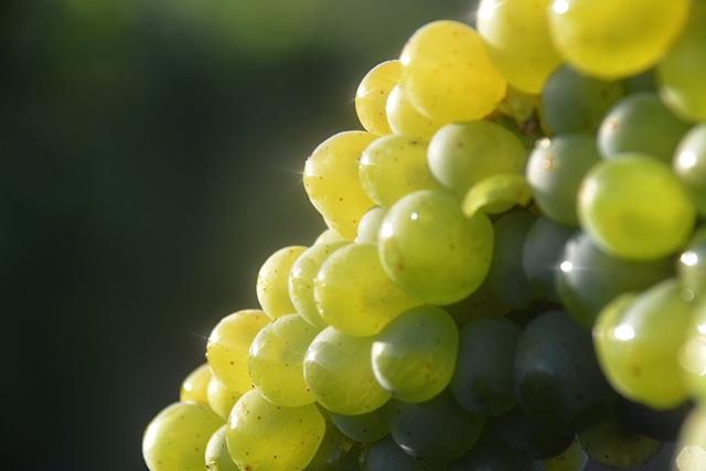 chardonnay harvest 10.jpg