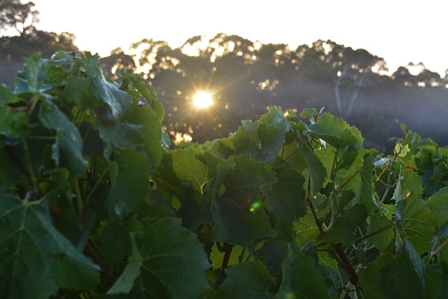 chardonnay harvest 4.jpg