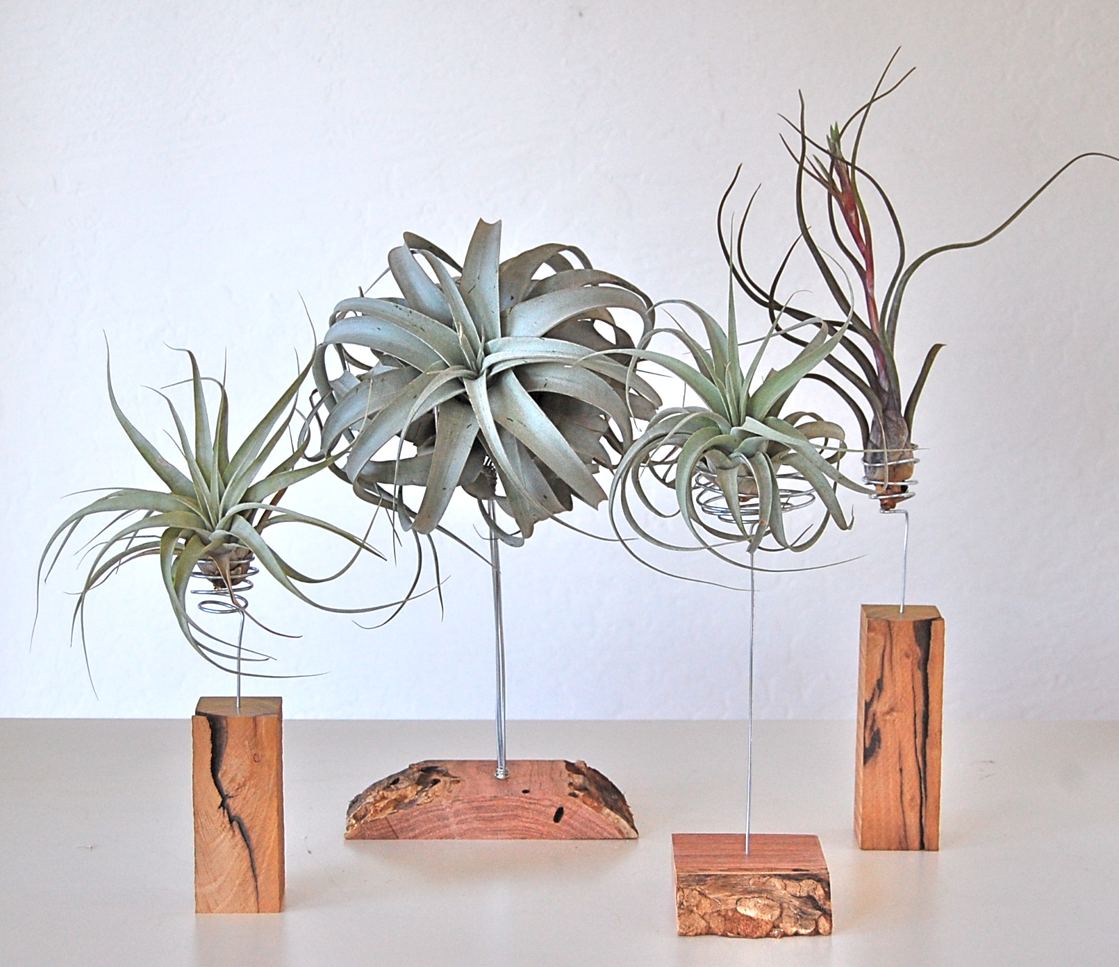 AIR PLANTS ON HAND CRAFTED STANDS (SOME WITH LIVE EDGE)  Stands and plants sold separately.