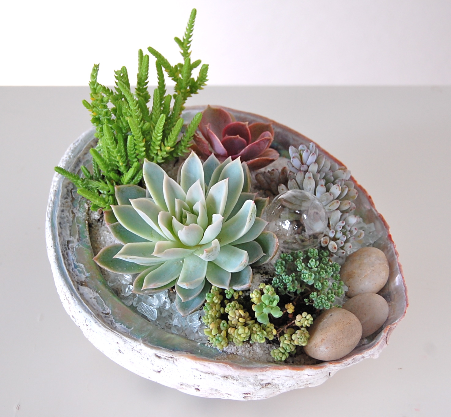 """ABALONE SHELL PLANTING  8""""w x 6.5""""d"""