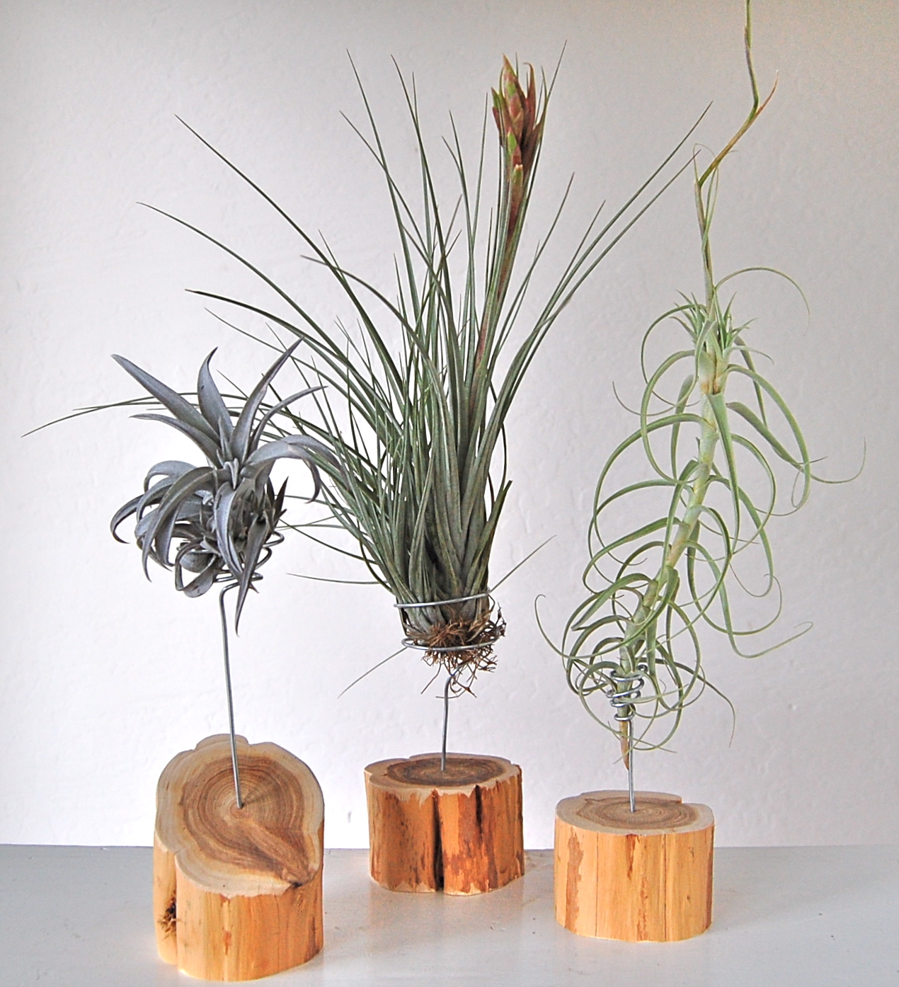 Sculptural Air Plants Flourish