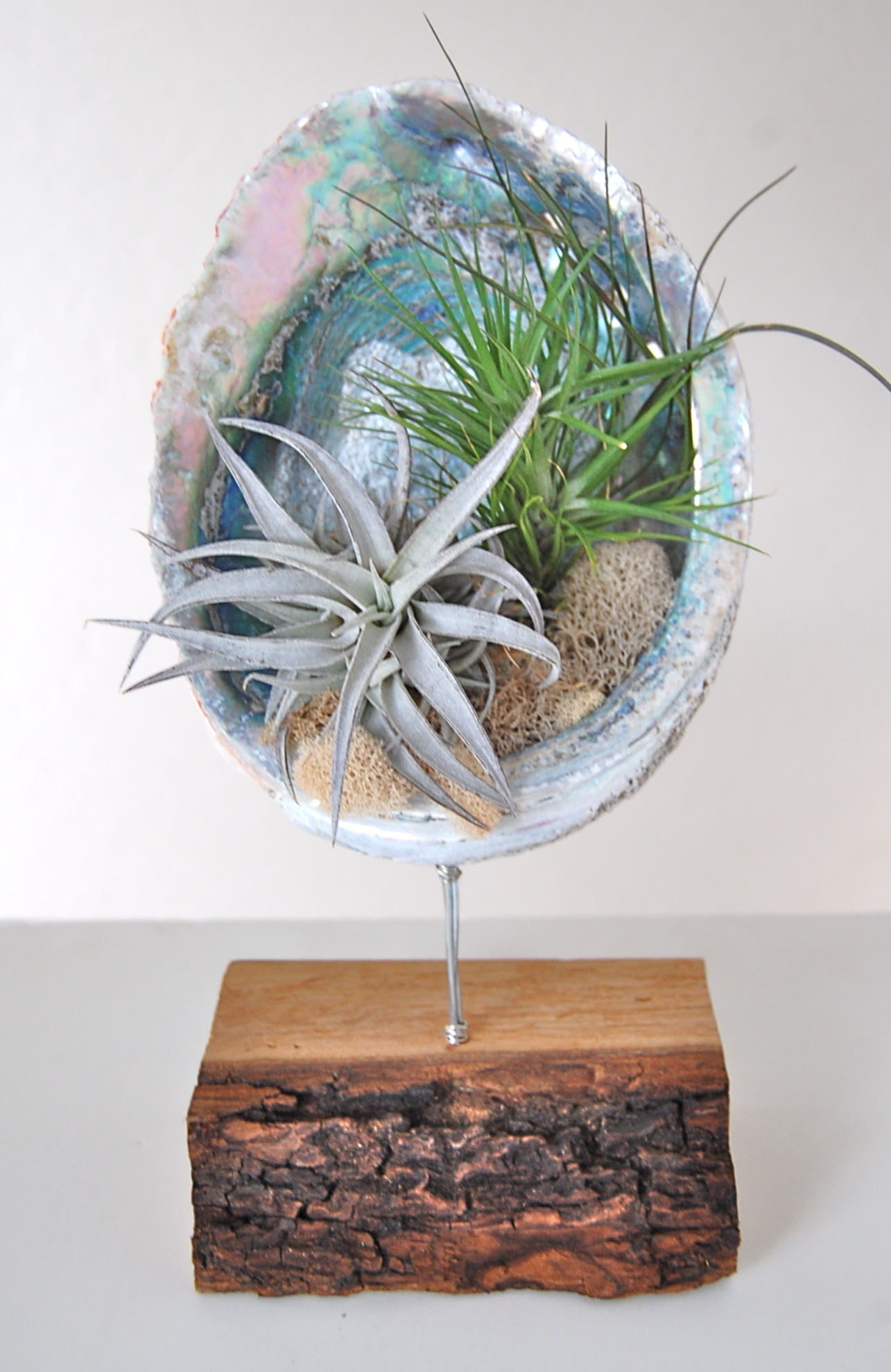 "ABALONE SHELL STAND WITH AIR PLANTS  8""-9"" shell on wooden stand"