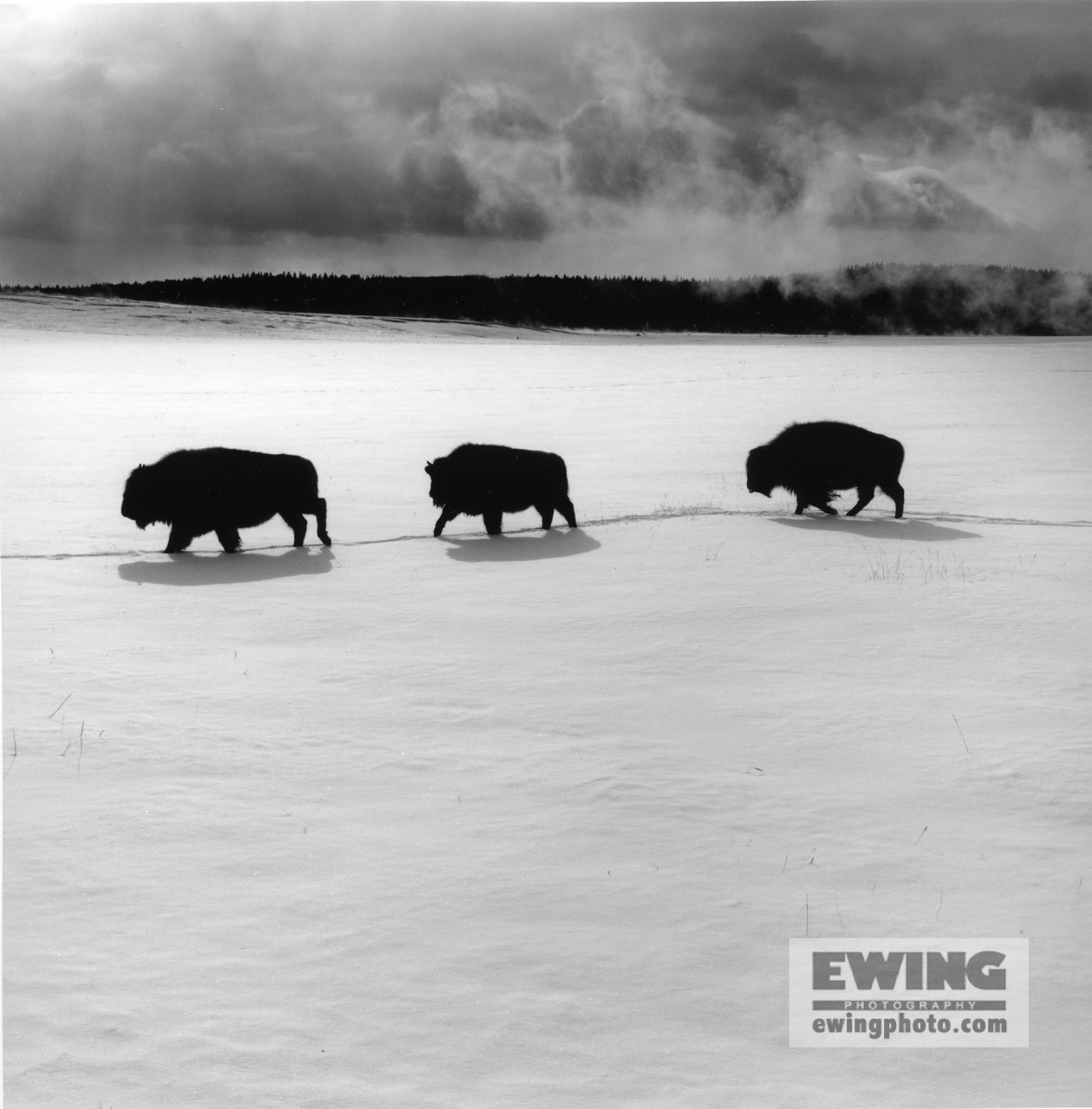 Three Buffalo, Midway Geyser Basin Yellowstone National Park, Wyoming