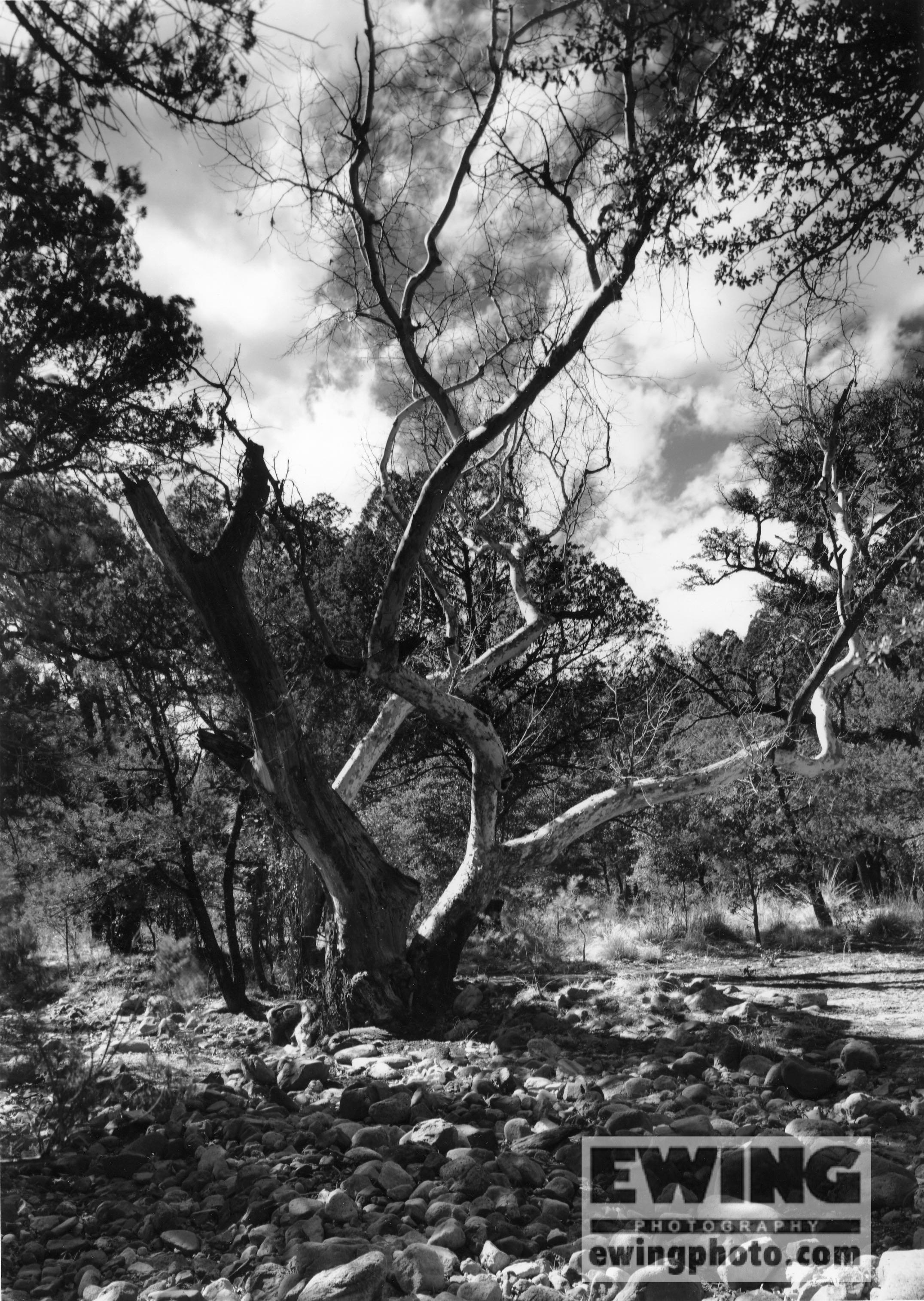 Sycamore Coronado National Park, Arizona