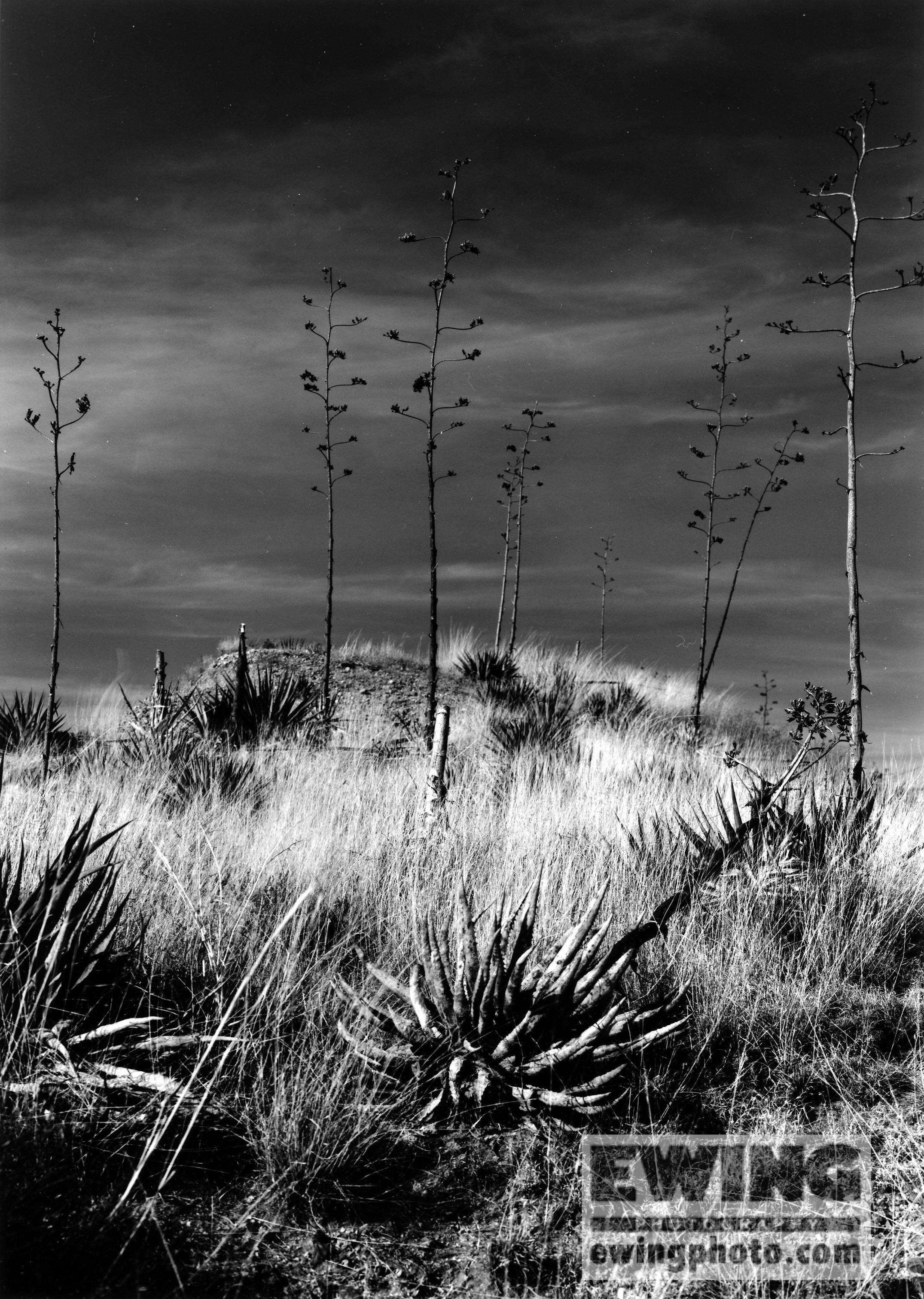 Agave Cactus Sonoita, AZ