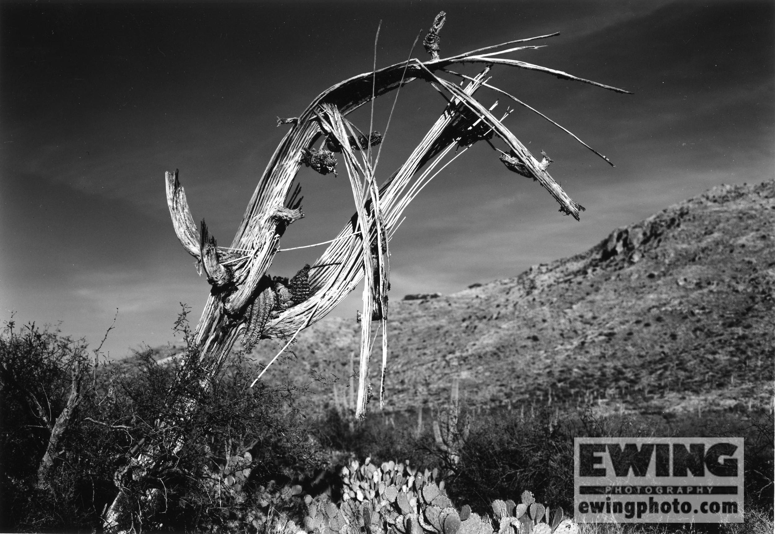 Dead Saguaro Cactus Saguaro National Park East, Airzona
