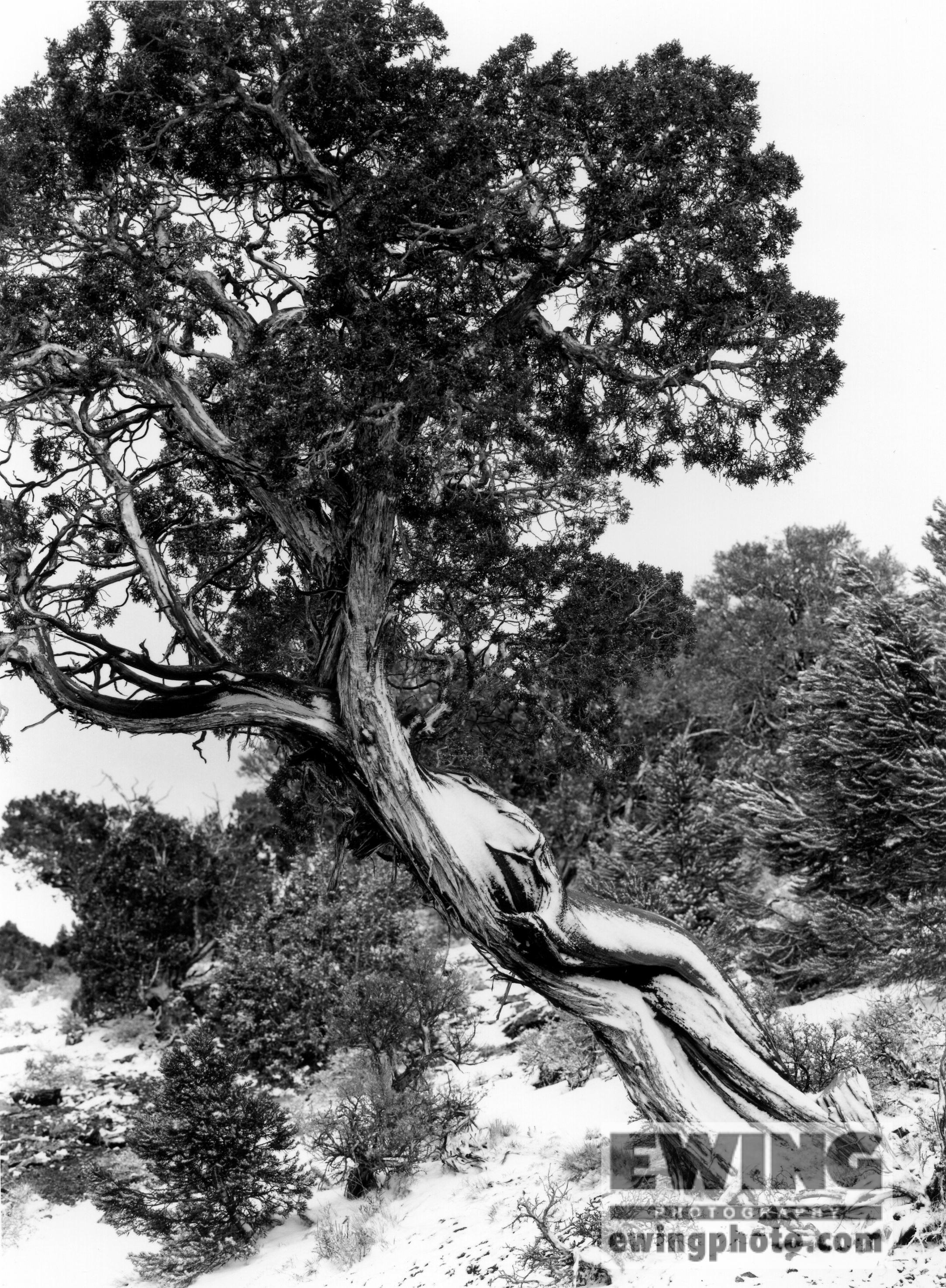 Bristlecone Pine Connors Pass, Nevada