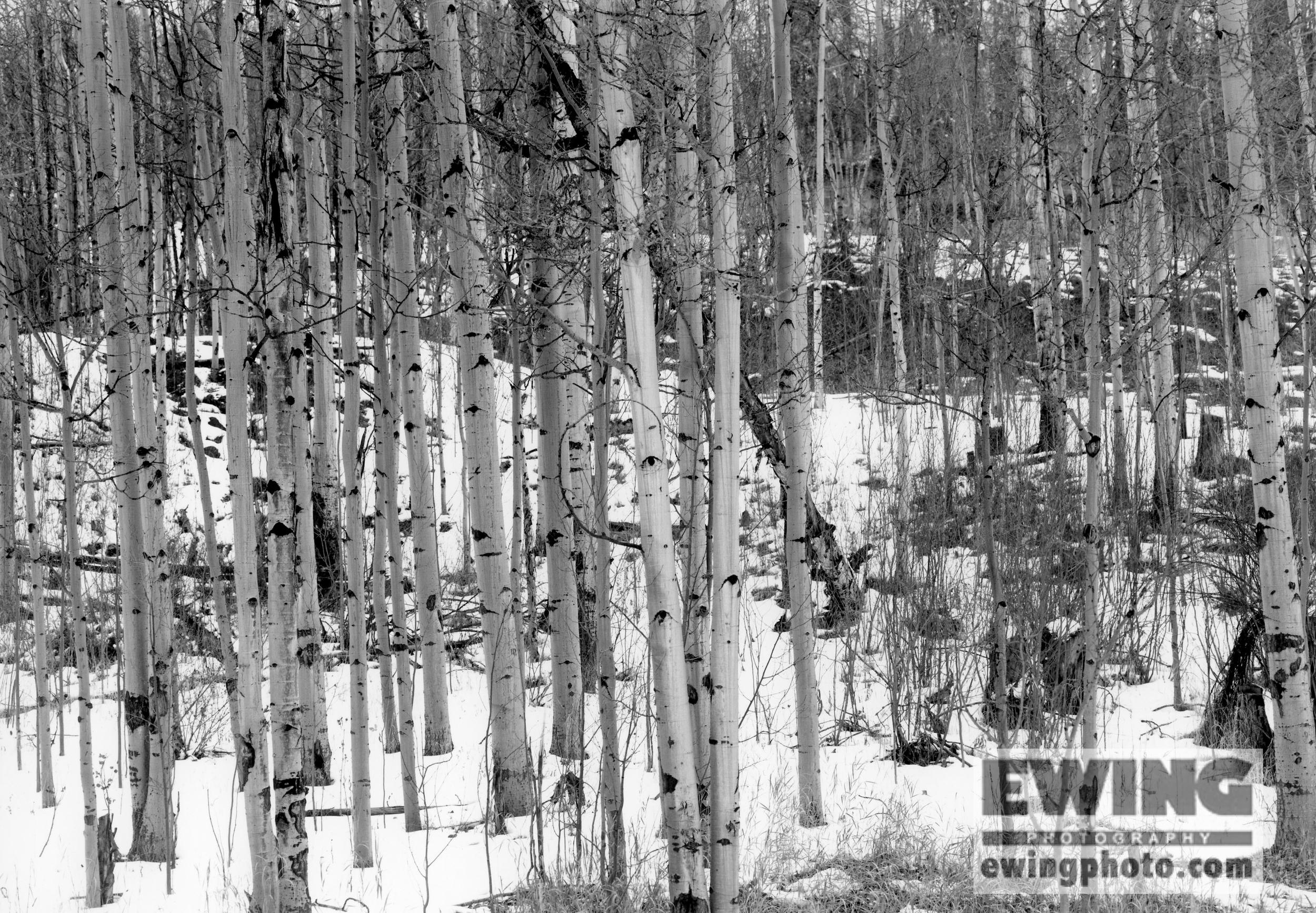 Aspen Trees Frisco, Colorado