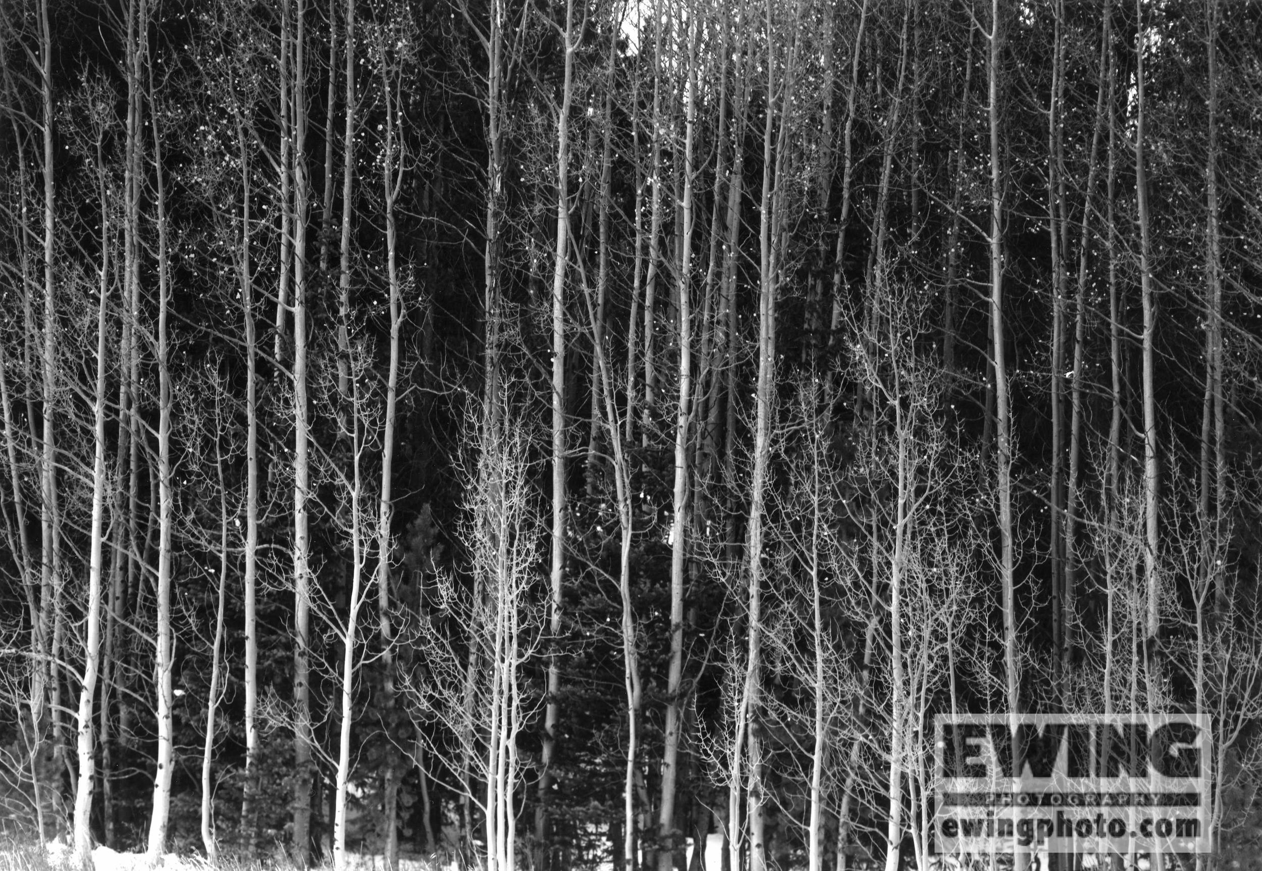Aspen Trees. Alma, Colorado