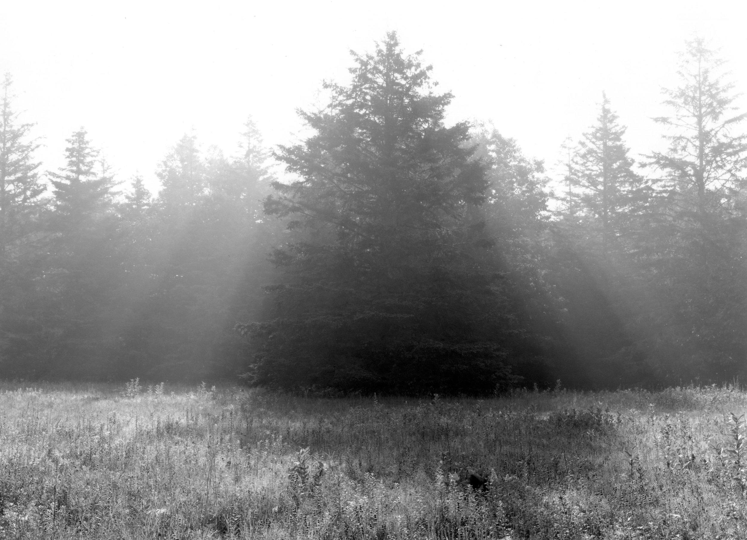 Spruce Tree Sorrento. Maine