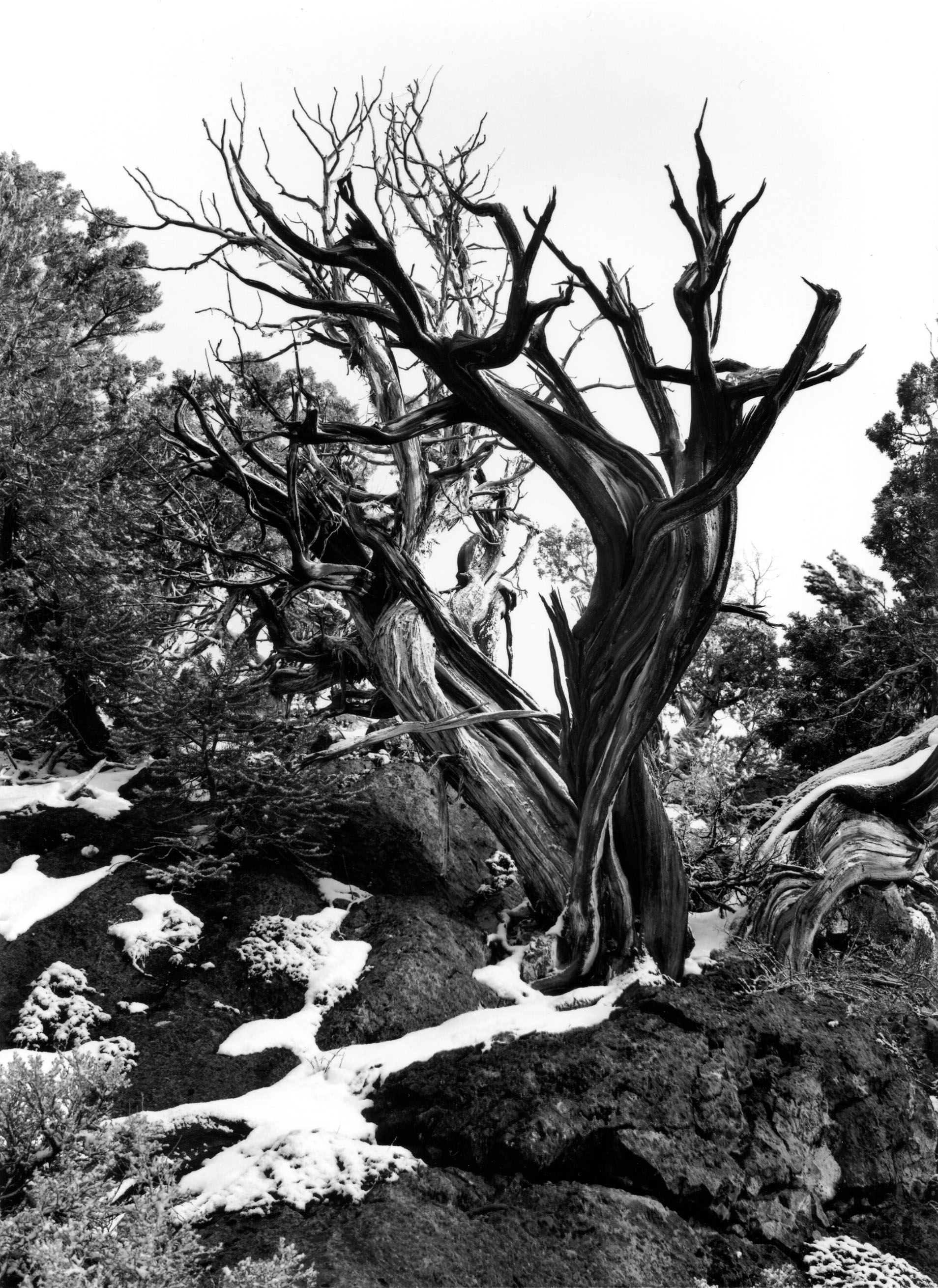 Bristlecone Pine Connors Pass