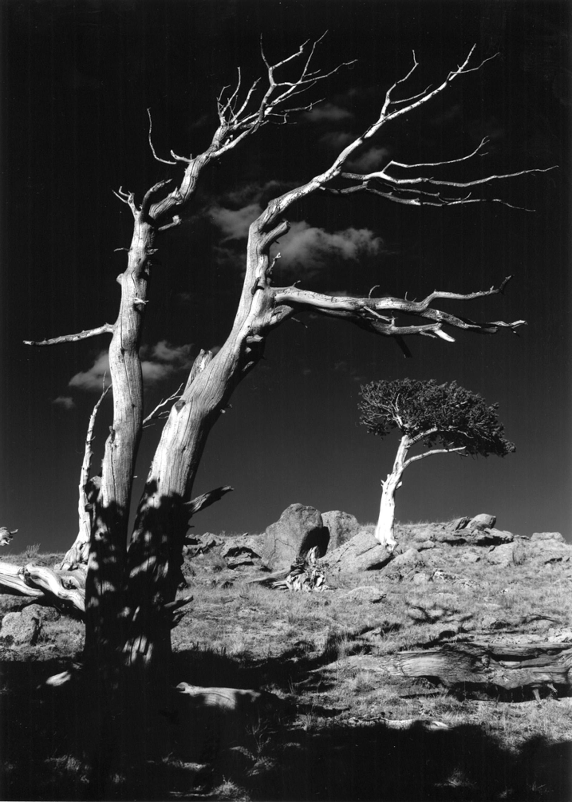 Bristlecone Pine Mt Goliath, Mt Evans Rd.