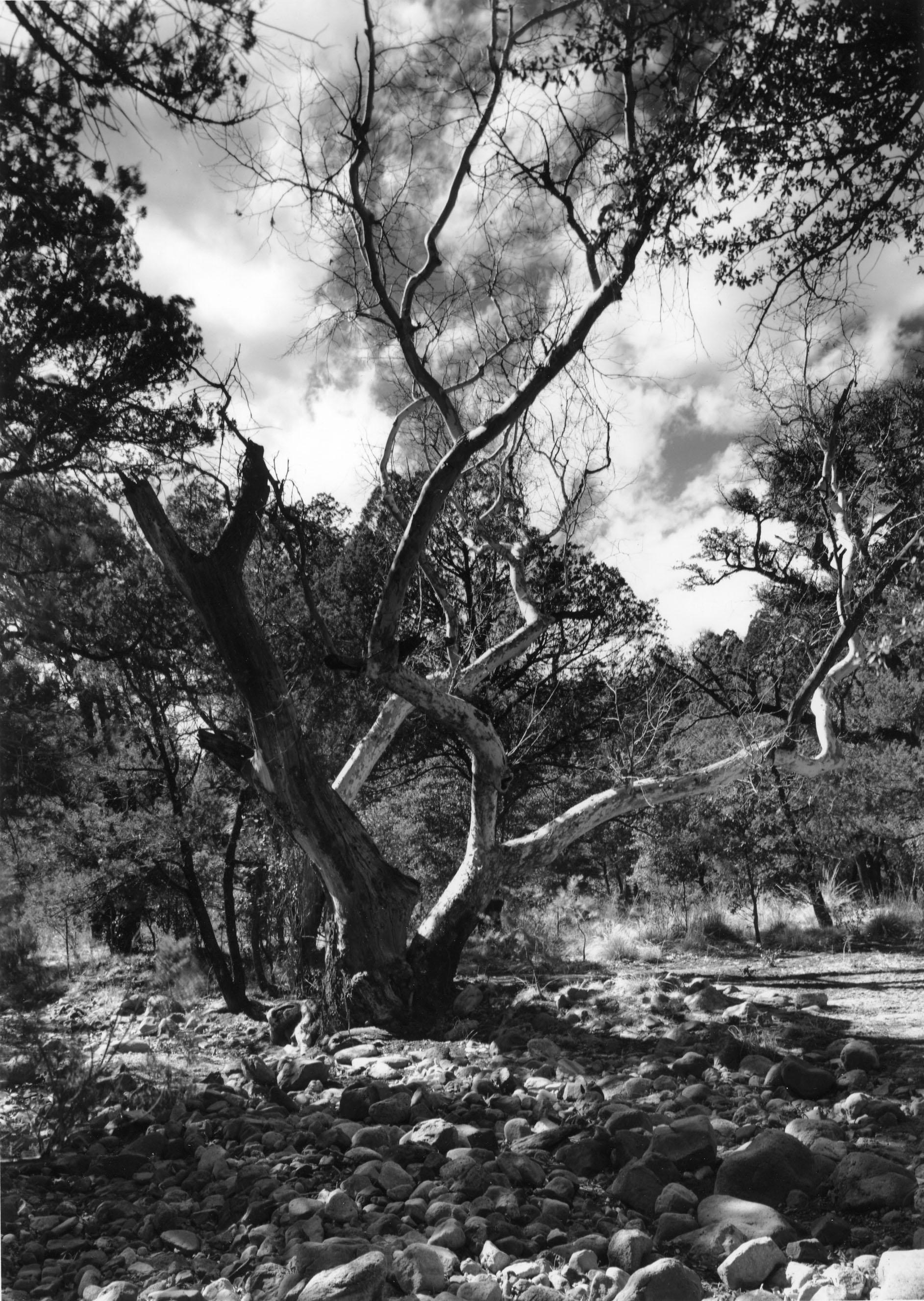 Arizona Sycamore, Coronado National Park, AZ