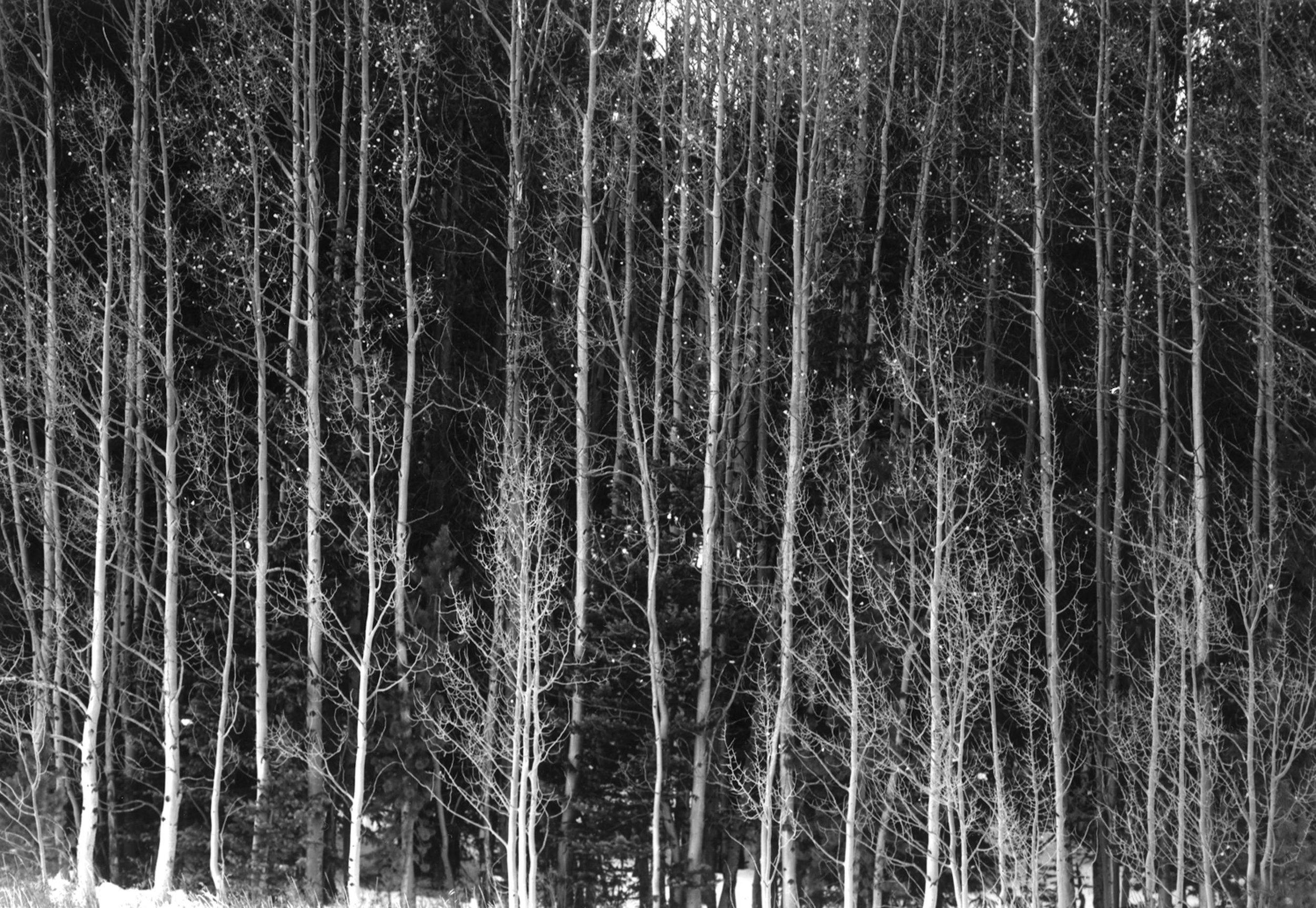 Aspen trees  Alma, CO.